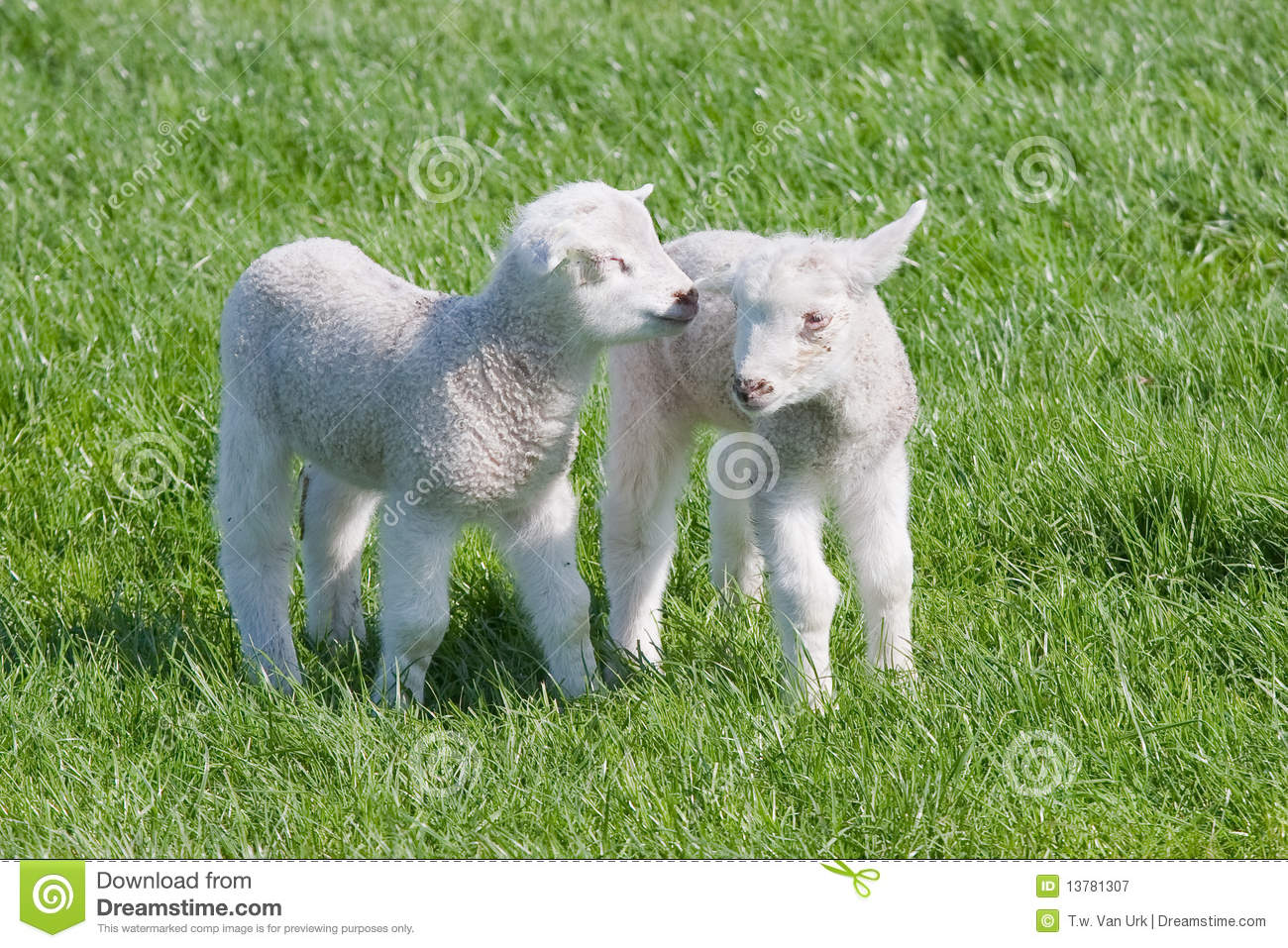 Satisfied Young lambs in the pasture at springtime