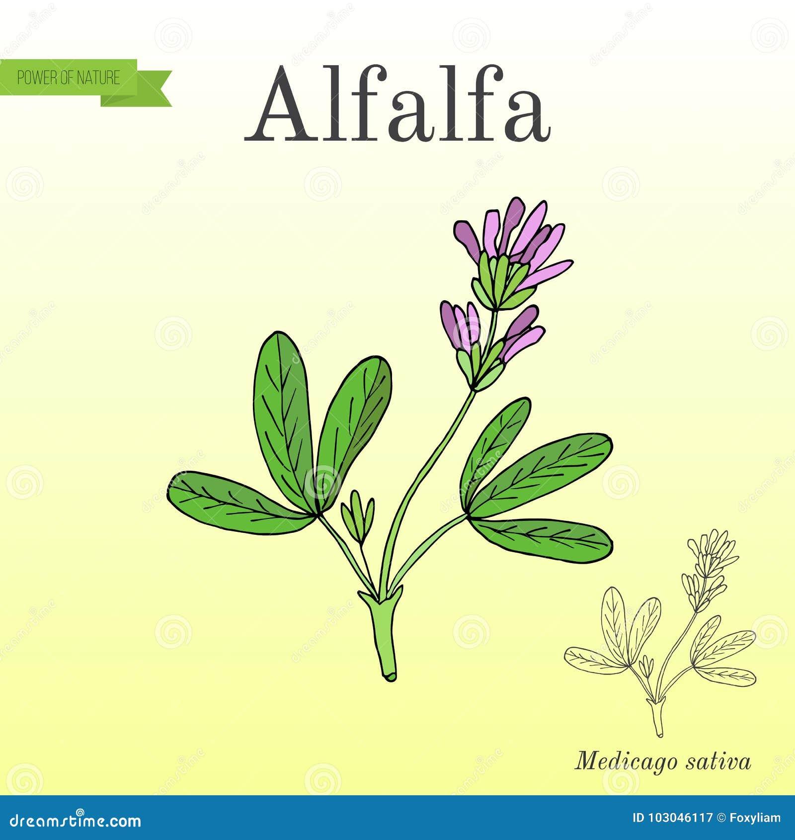 Sativa alfalfaMedicago