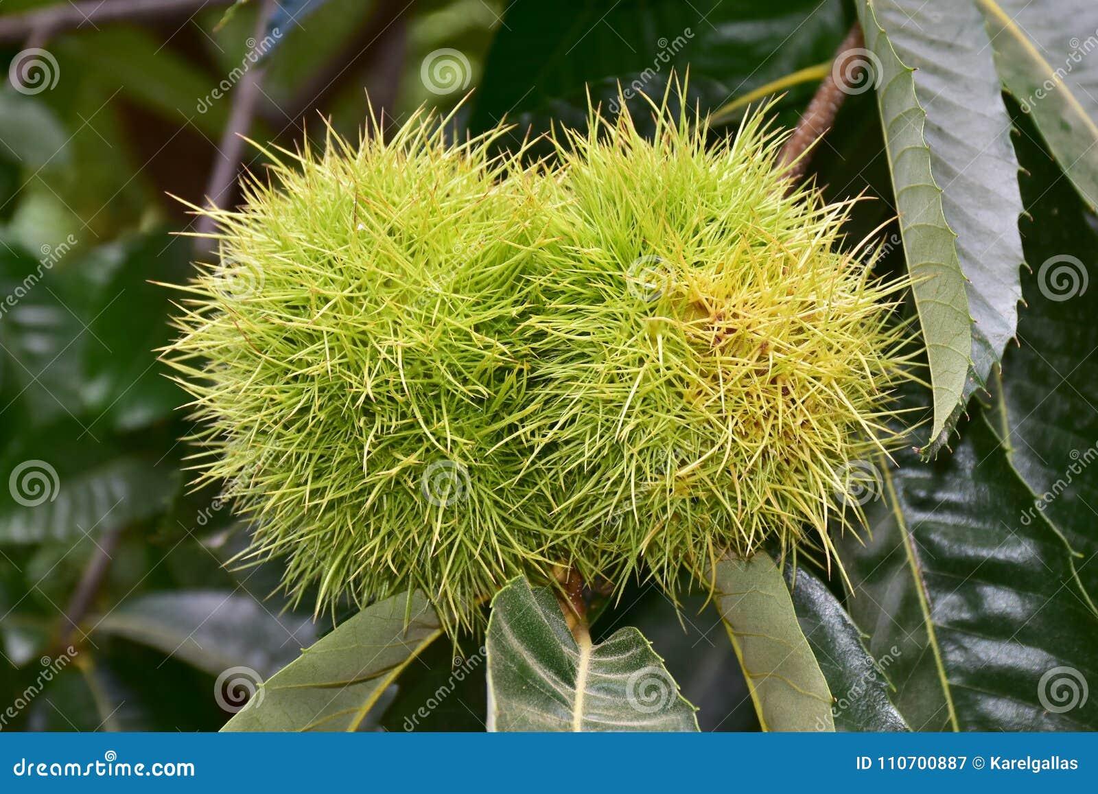 Sativa Castanea eller söt kastanj,