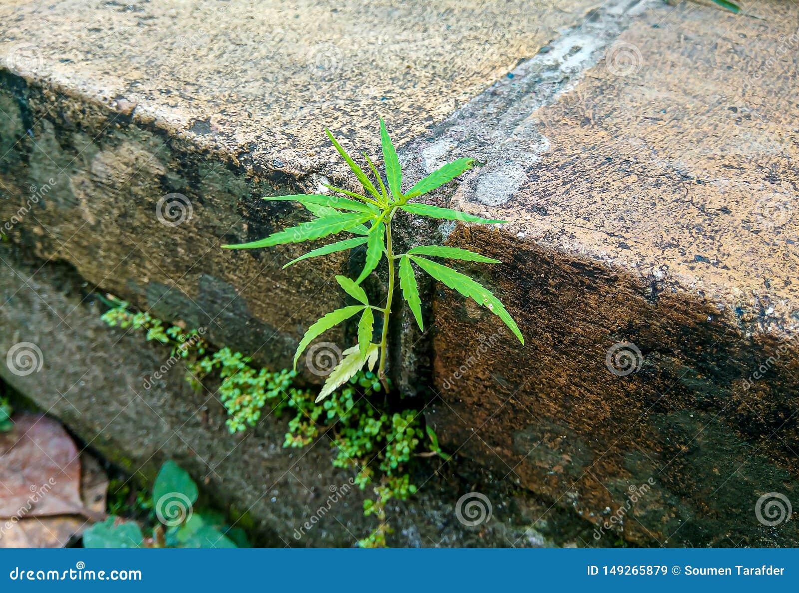 Sativa v?xt f?r liten cannabis p? en gammal tegelstenv?gg