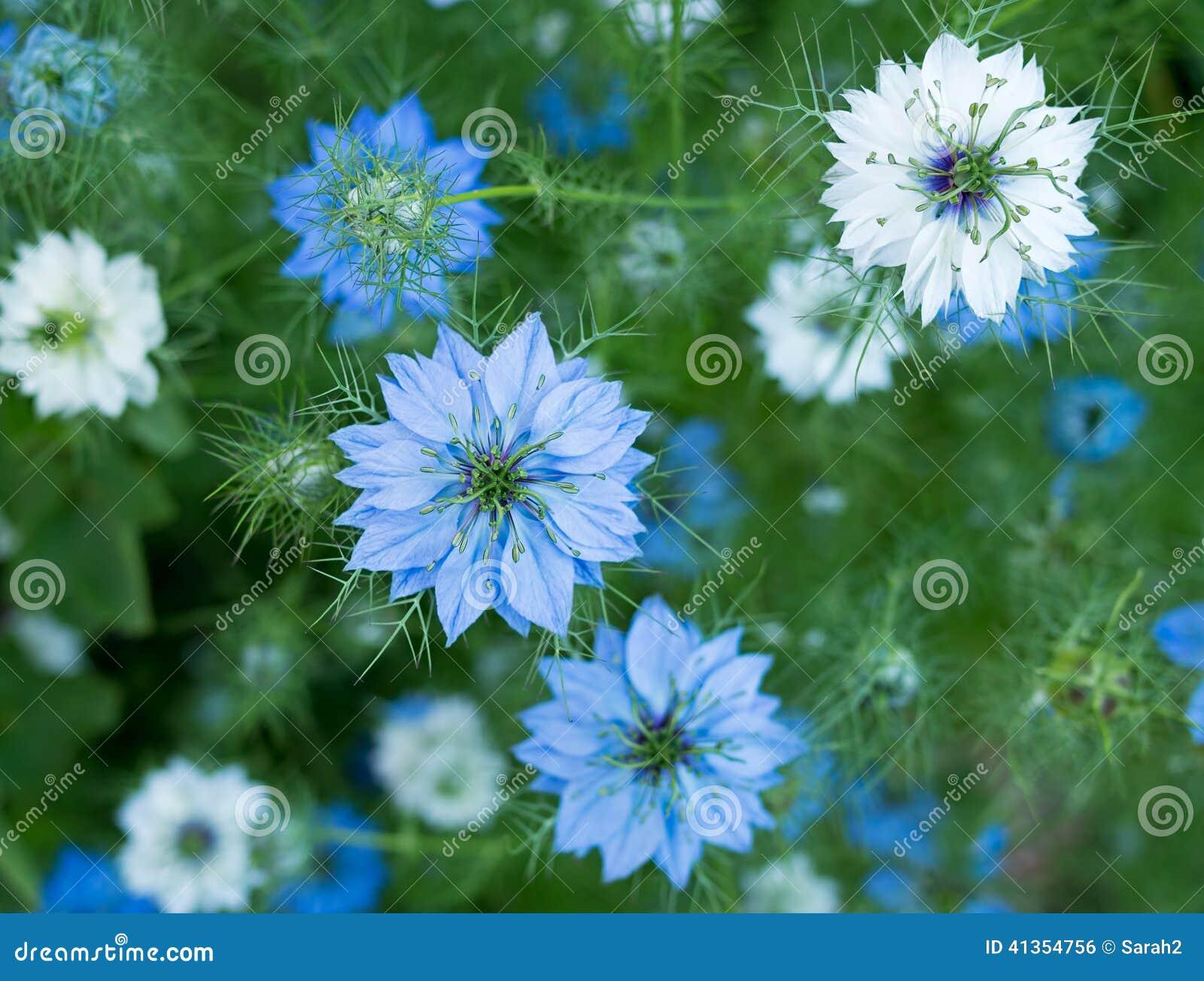 Stockfoto: Sativablumen Nigella - Kraut, blaue weiße oder rosa Blumen