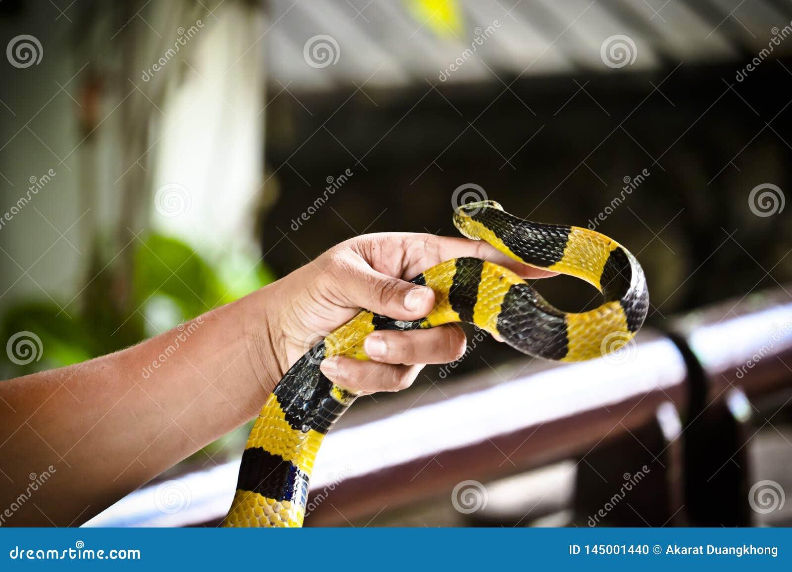 Satt band Krait orm på en hand