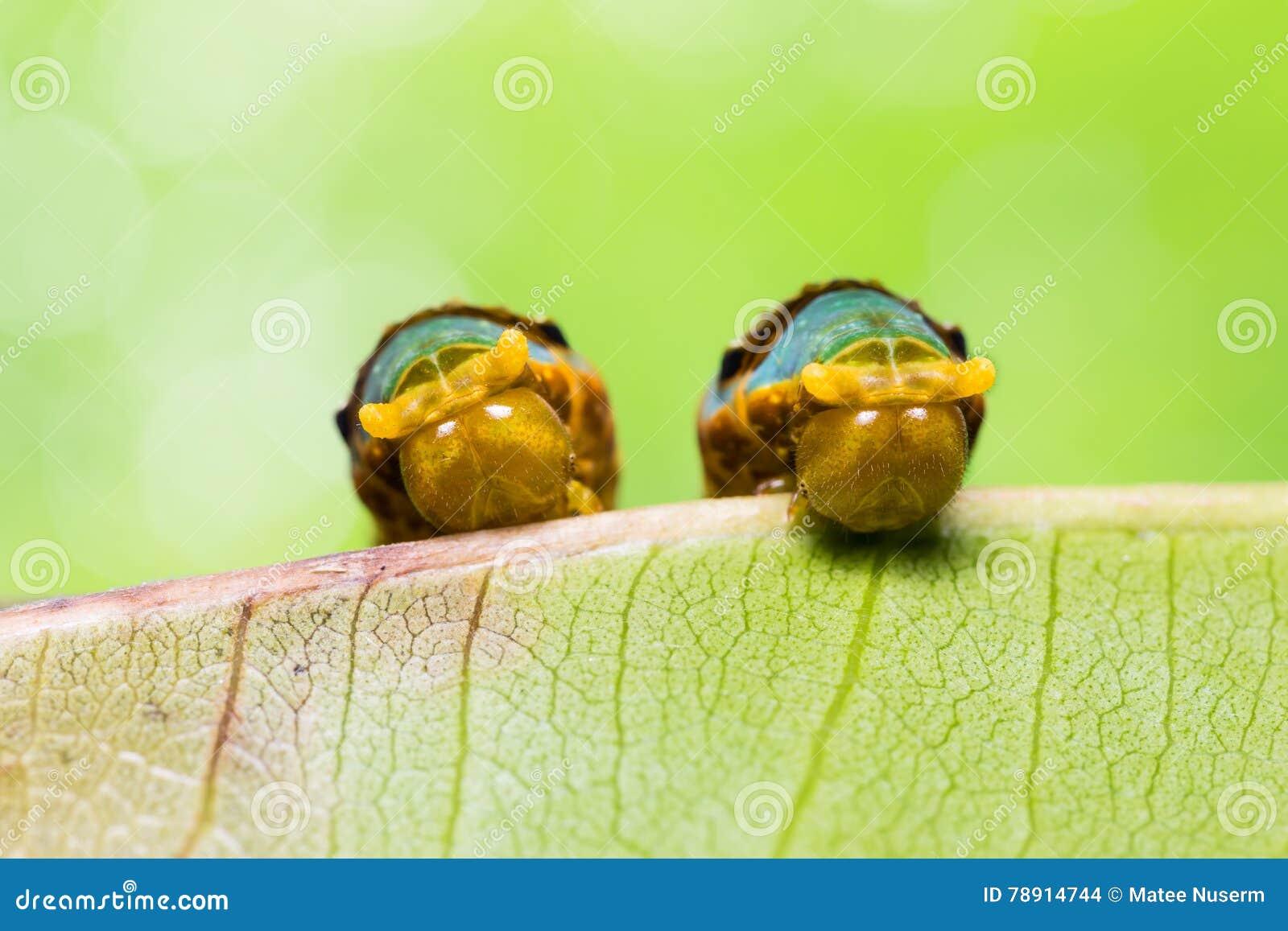 Satte band Swallowtail larver