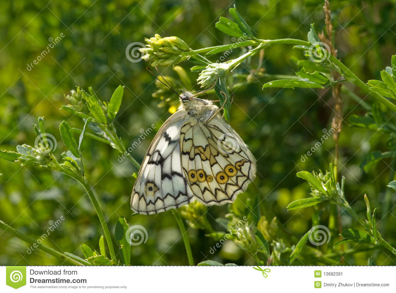 The Satyrid Butterfly