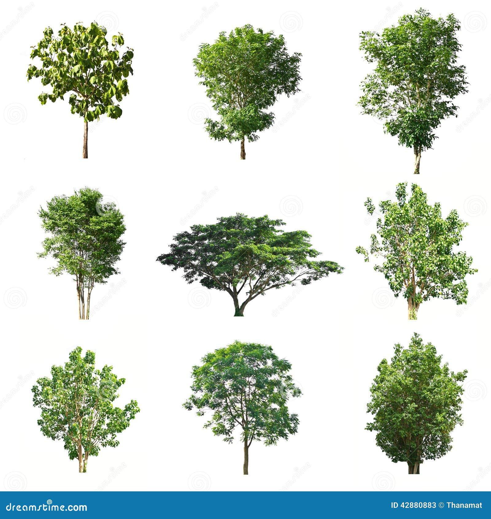 Satz Bäume lokalisiert auf weißem Hintergrund