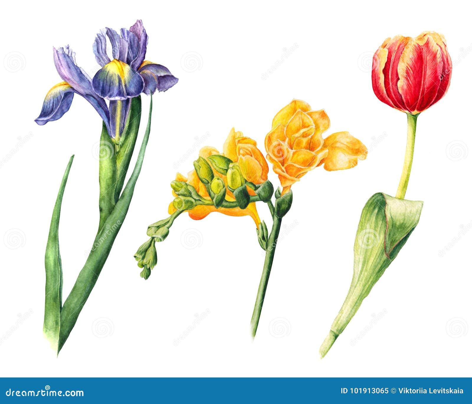 Satz des Aquarells blüht - Iris, Freesie, Tulpe