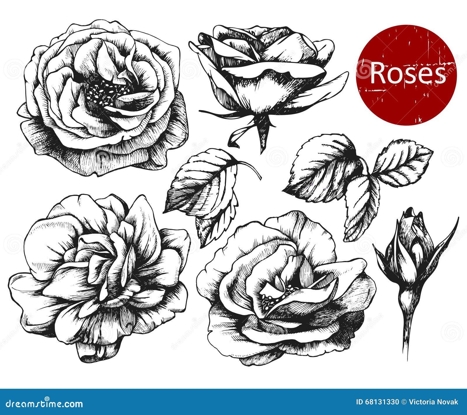 satz in hohem grade ausf hrliche hand gezeichnete rosen vektor abbildung bild 68131330. Black Bedroom Furniture Sets. Home Design Ideas
