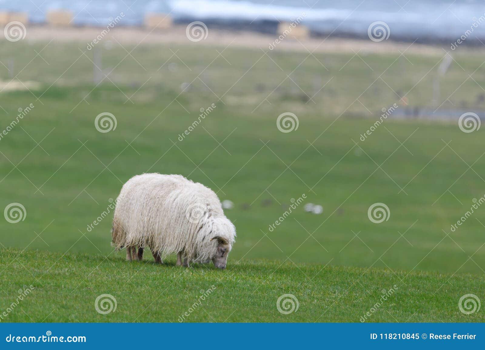 Sauðkindin islandais de Ãslenska de moutons