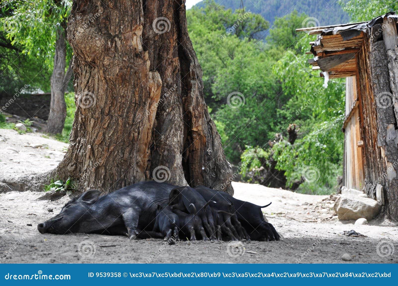 sau, die seine kinder in tibet speist stockfoto - bild von