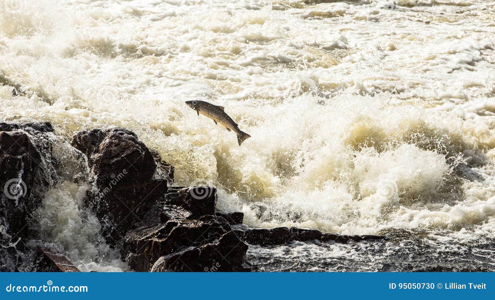 Saumons atlantiques, Salmo Salar, sautant en cascades turbulentes dans Kristiansand, la Norvège