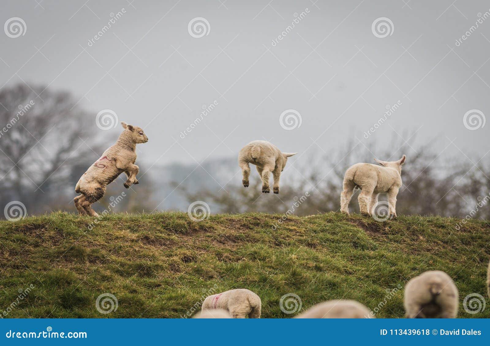 Sauter agnelle complètement des joies du ressort