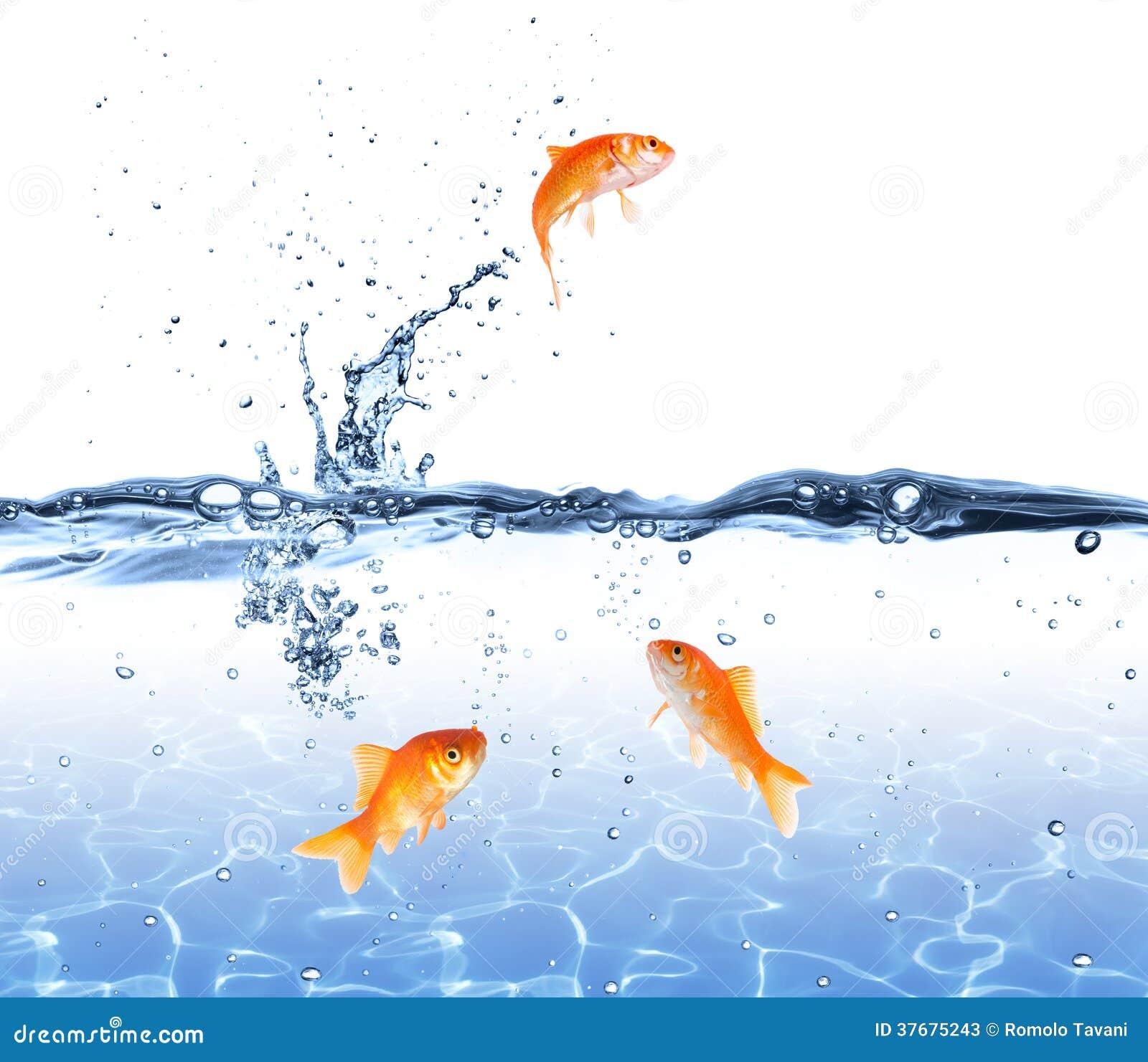 Sauter de poisson rouge de l 39 eau chappez au concept for Eau pour poisson rouge