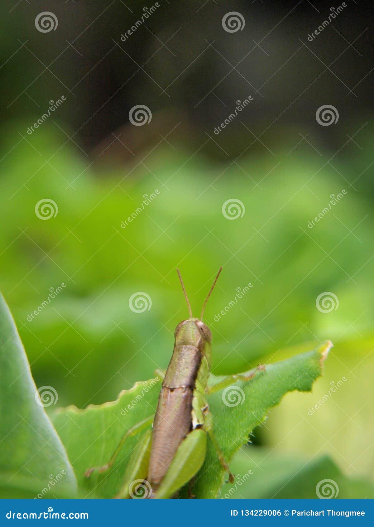 Sauterelle haute étroite sur le fond vert de tache floue de feuille de nature