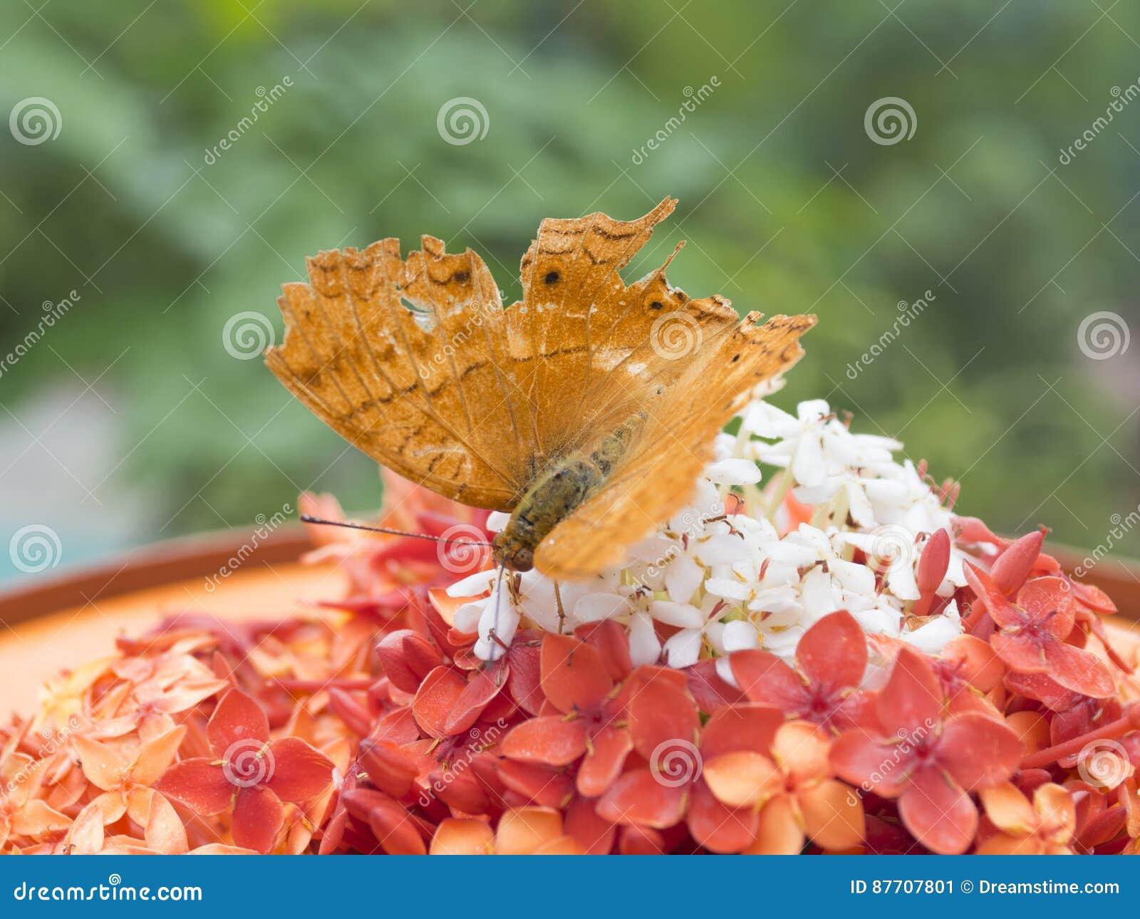 Sauvez la prévision de téléchargement un papillon brun d or dans le jardin de papillon du beau parc de miniature de l Indonésie