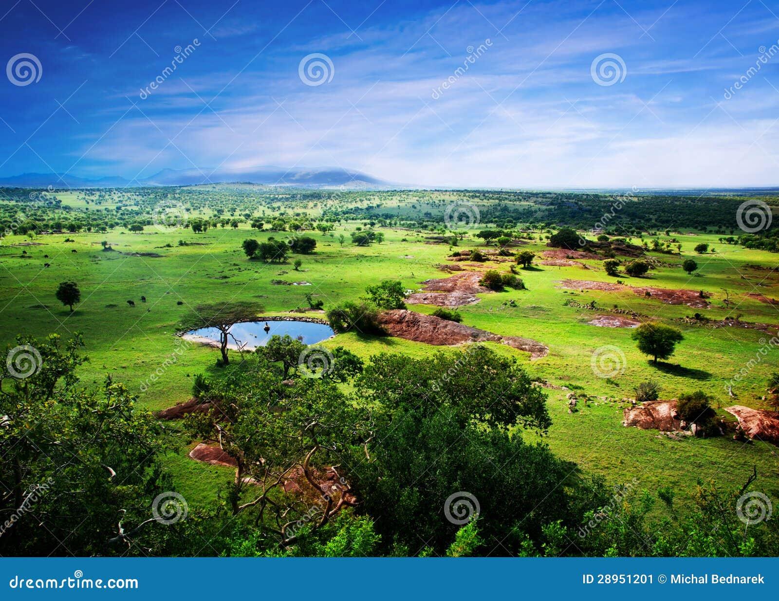 Savanna in bloom, in Tanzania, Africa panorama