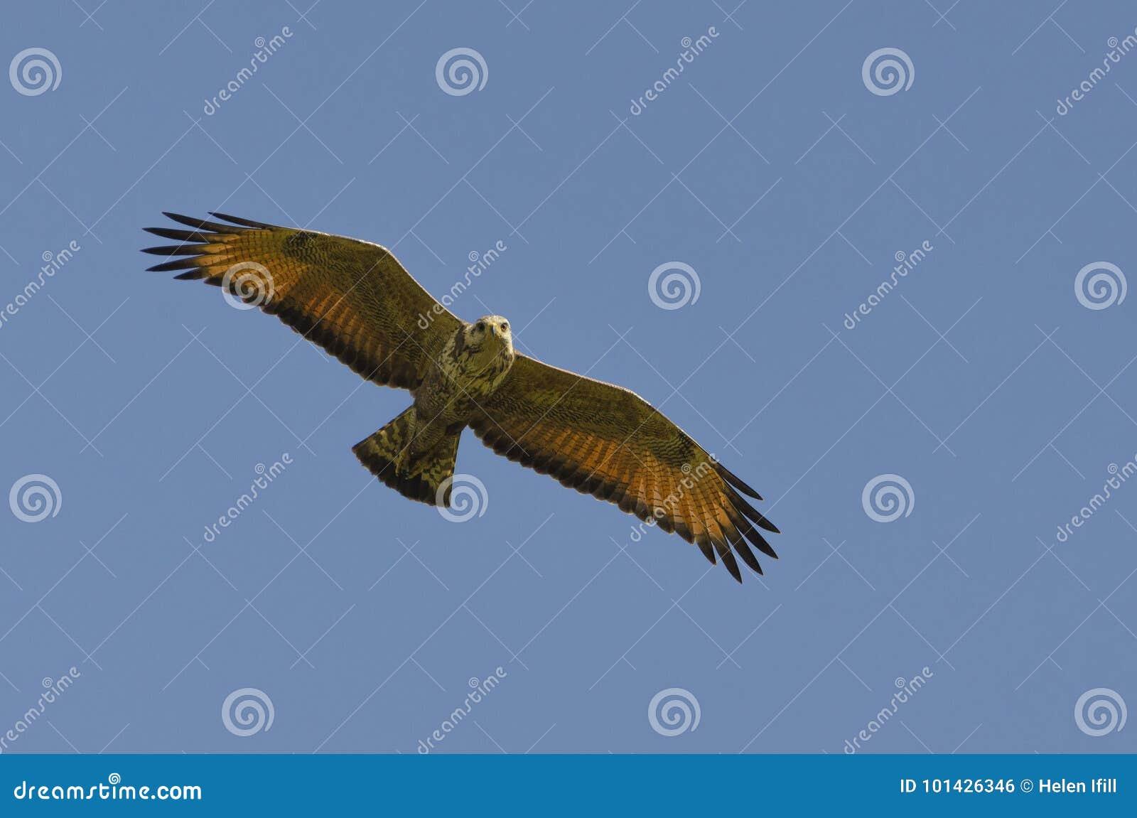 Savanna Hawk Hunting nel Sun di mezzogiorno