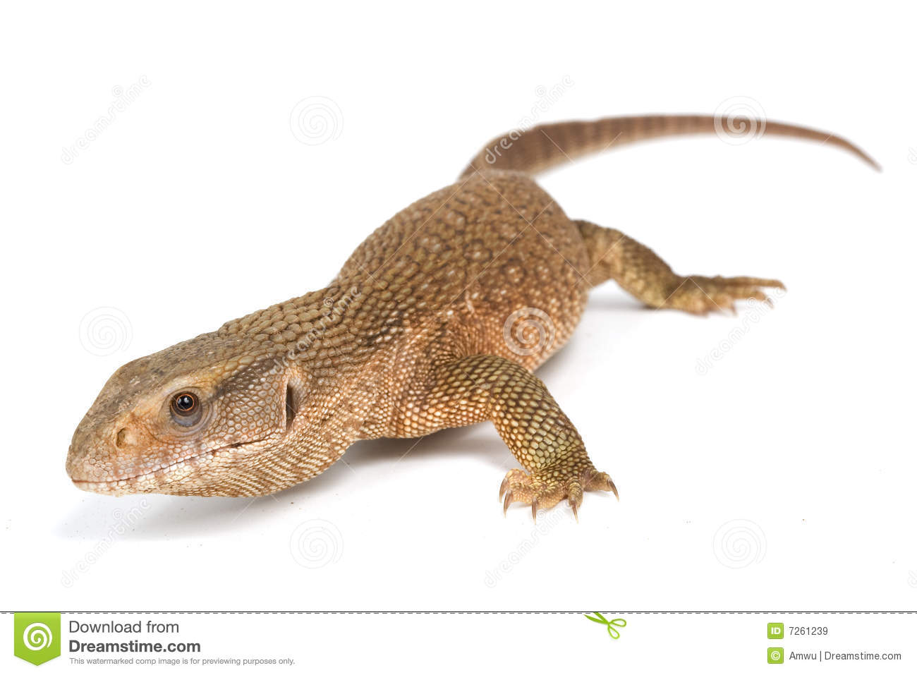 Savannah Monitor Lizard stock image. Image of wildlife ...