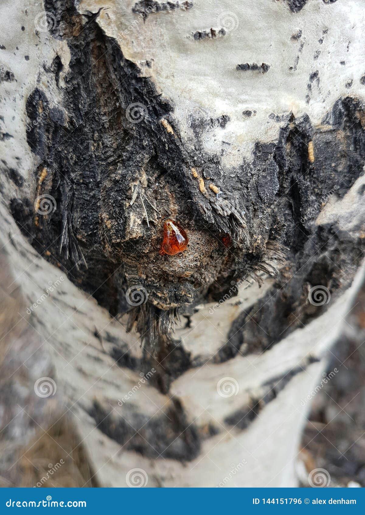 Savia en un árbol del álamo temblón