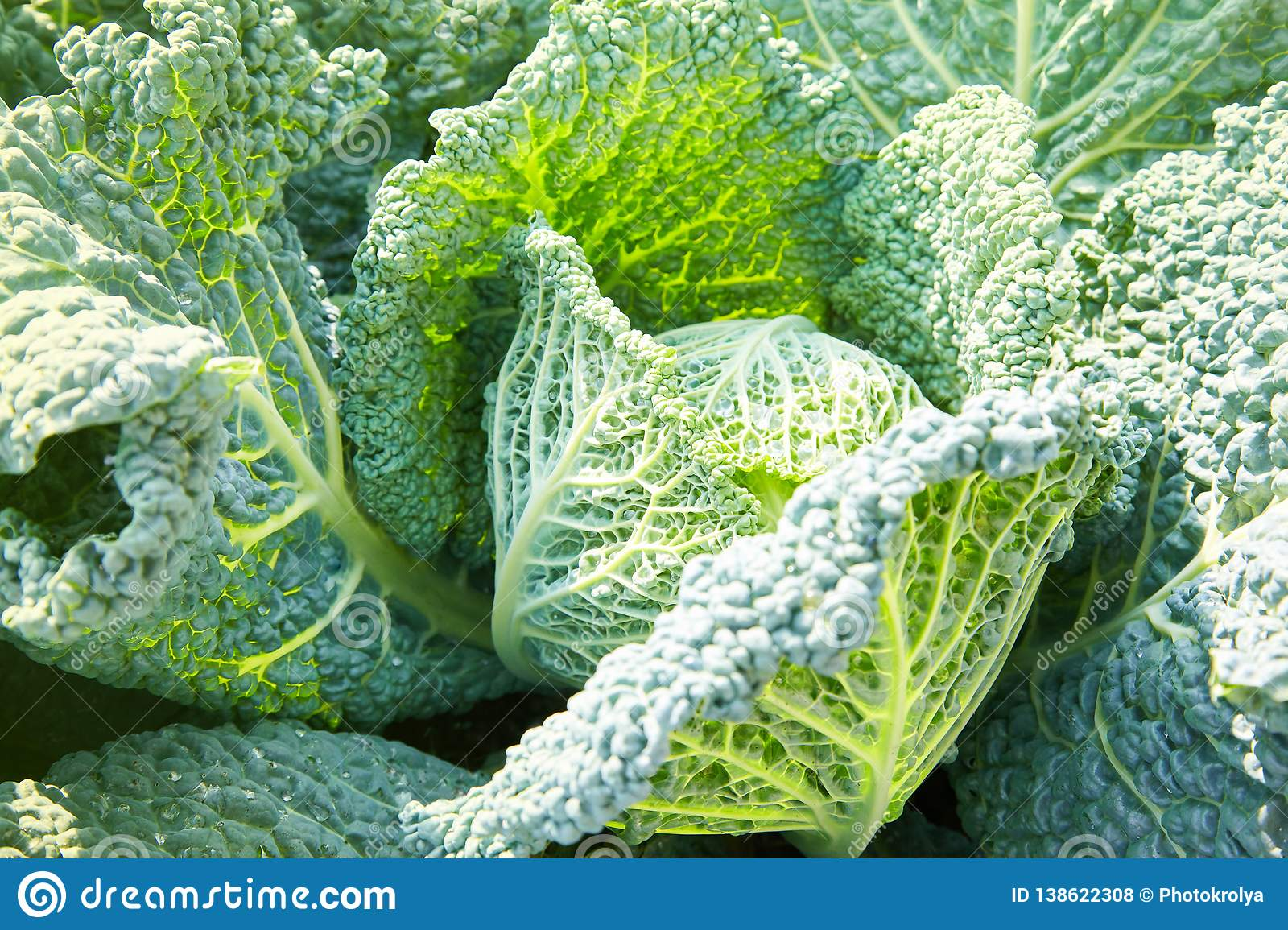 Savoy cabbage with crystal water drops grows in garden