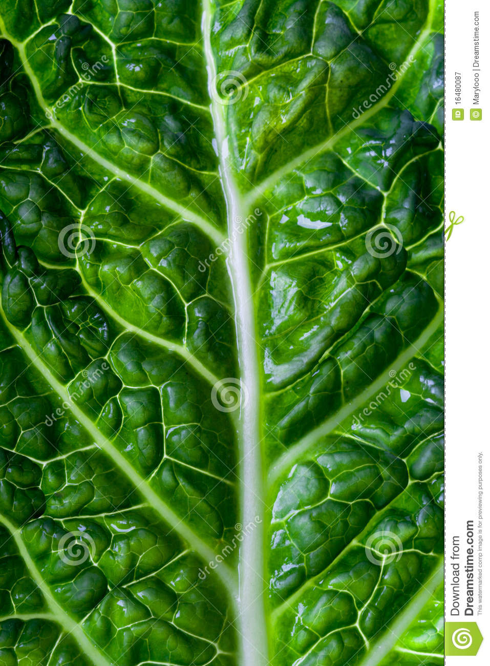 Savoy Cabbage Leaf Royalty Free Stock Photography - Image ...
