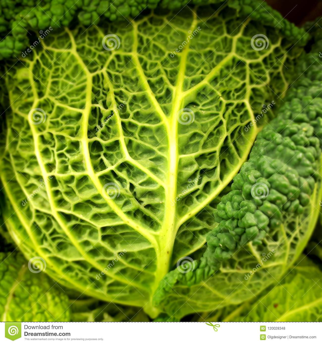 Savoy Cabbage Leaves Texture Stock Photo Image Of Garden Green 120028348
