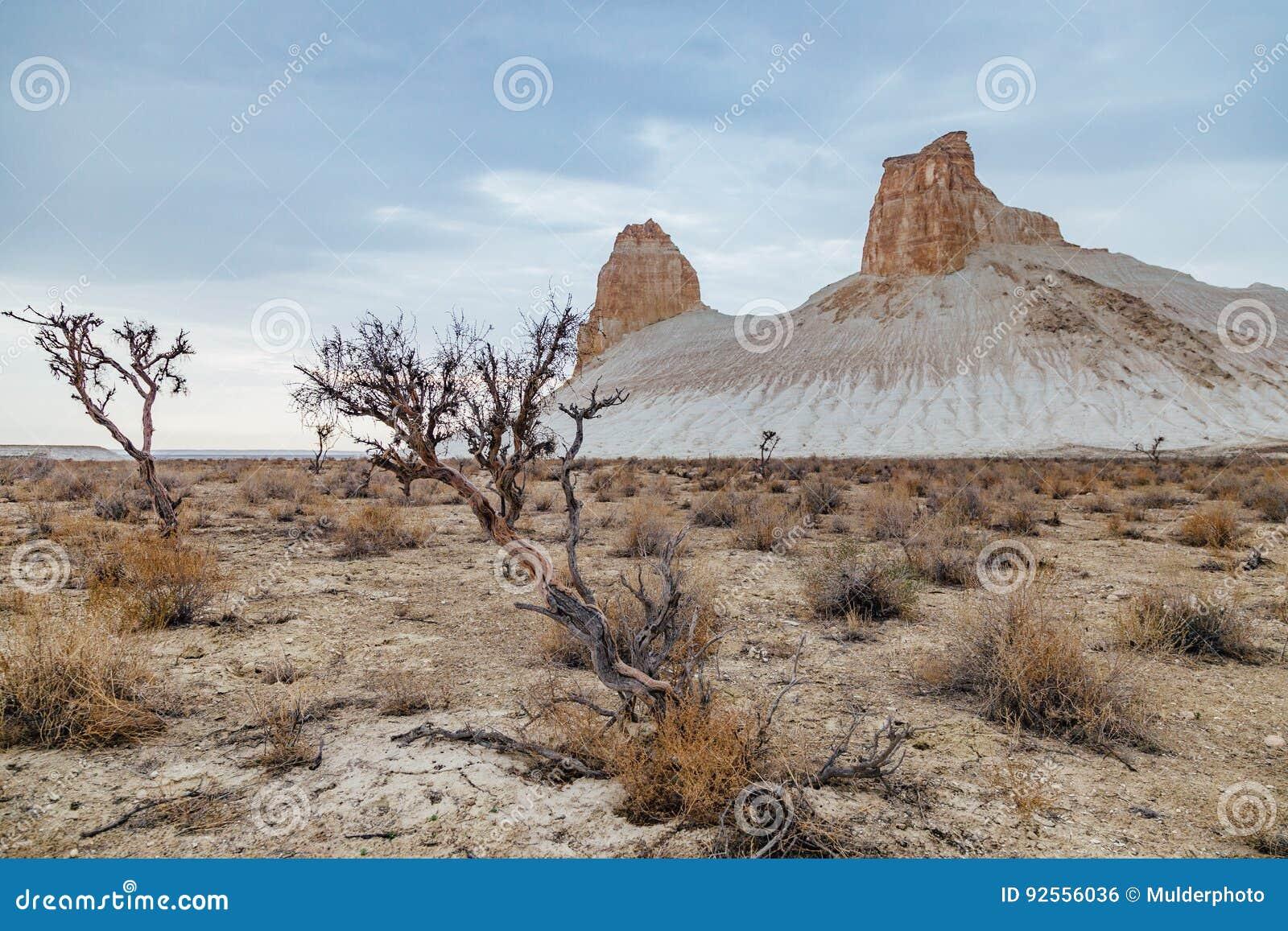 Saxaul asciutto nel deserto su fondo delle rocce alzate