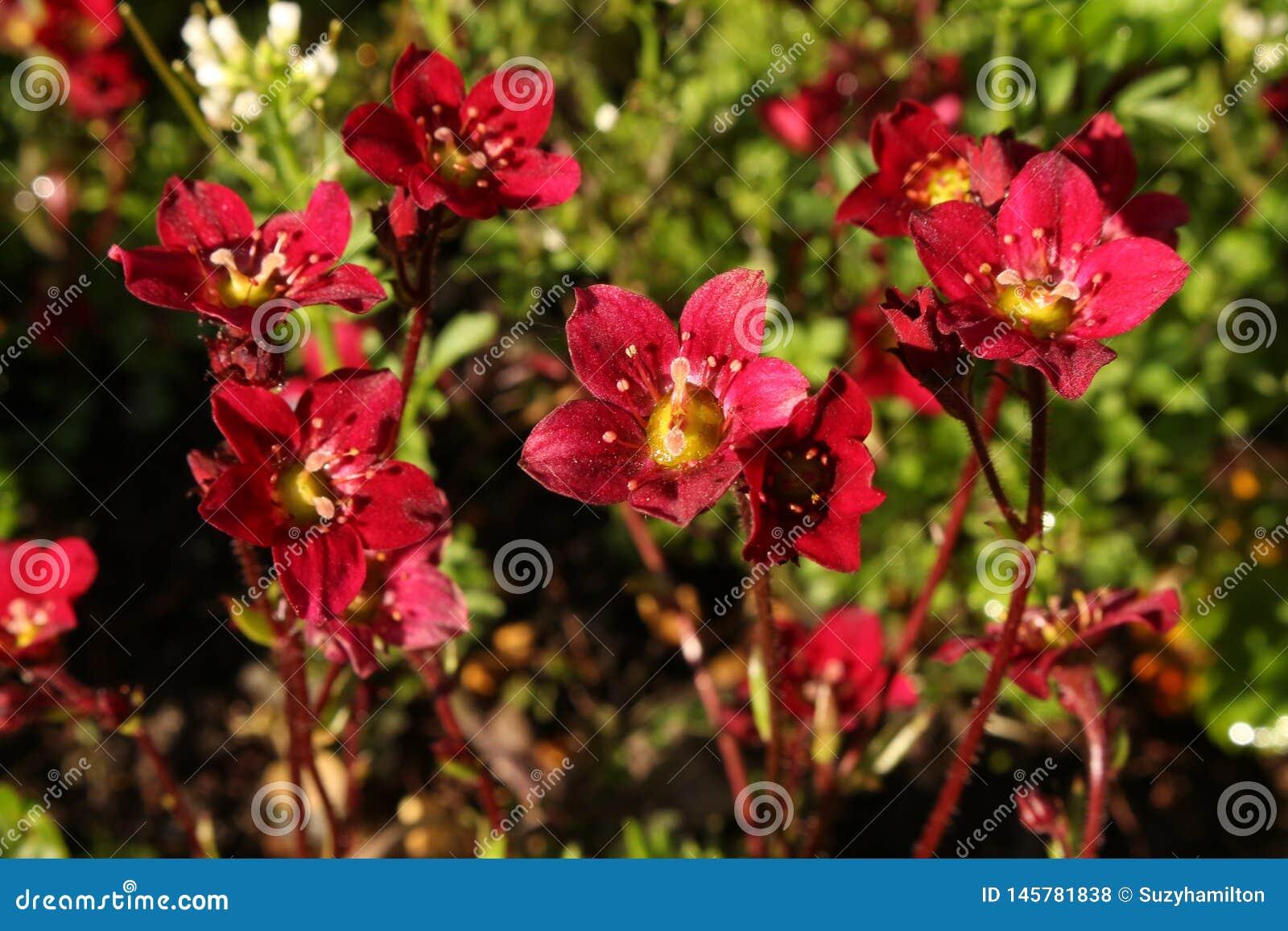 Saxifraga темно-красное Rockred растя в конце rockery вверх
