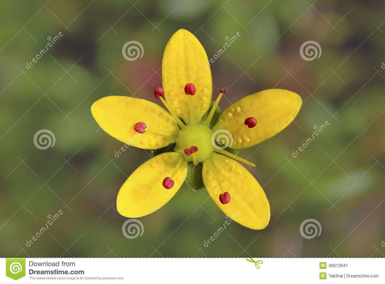 Saxifraga Brunonisyellow Flower In Vellay Of Flowers India Stock