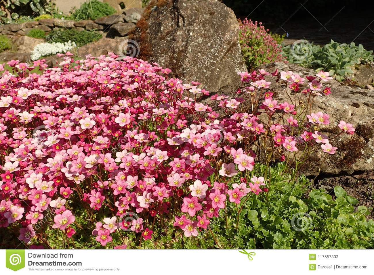 Saxifraga `Silver Cushion`, with flowers in full bloom in a rockery.