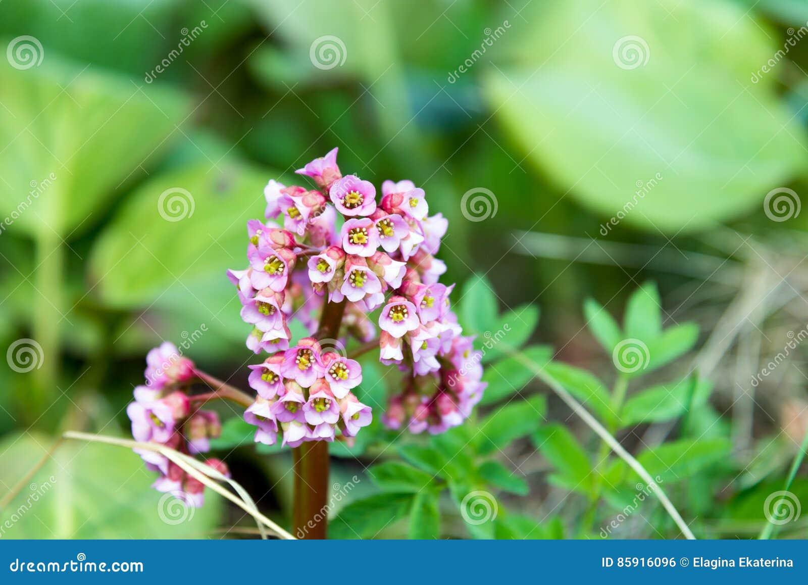 saxifrage éléphant-à oreilles de beau de ressort de rose bergenia