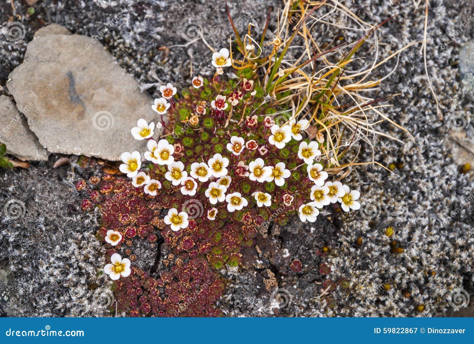 Saxifrage tuftée (cespitosa de Saxifraga) fleurissant, le Svalbard