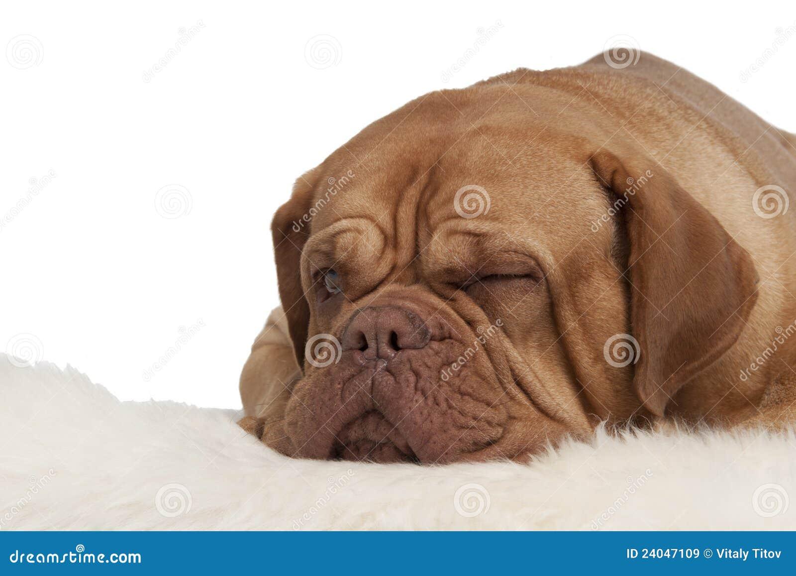 sbattere le palpebre cane che si trova sulla moquette