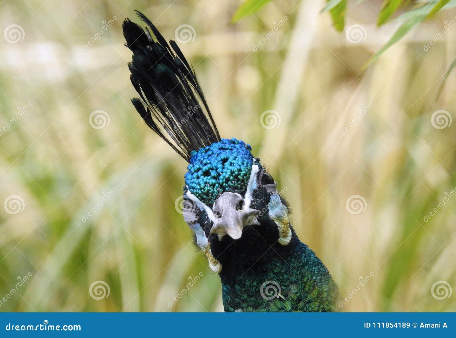 Sbattere le palpebre pavone