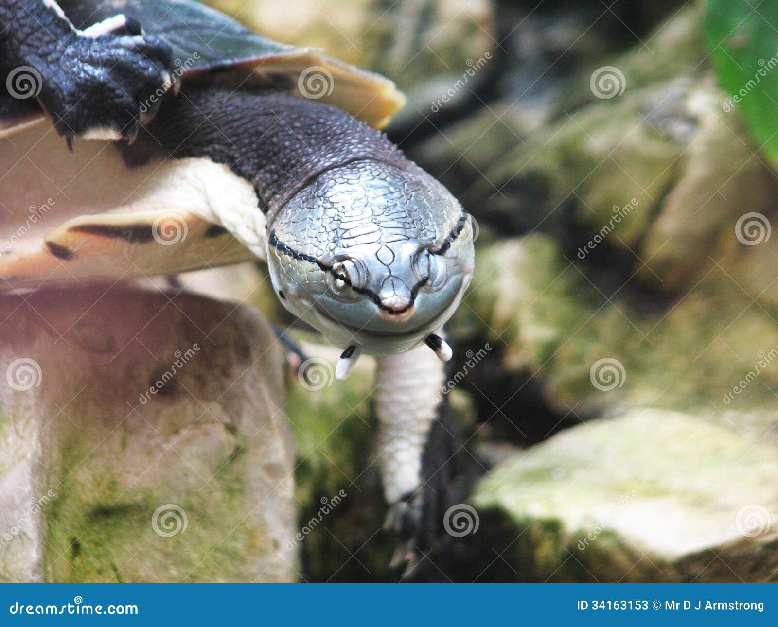 Sbattere le palpebre tartaruga d 39 acqua dolce fotografie for Stagno per tartarughe