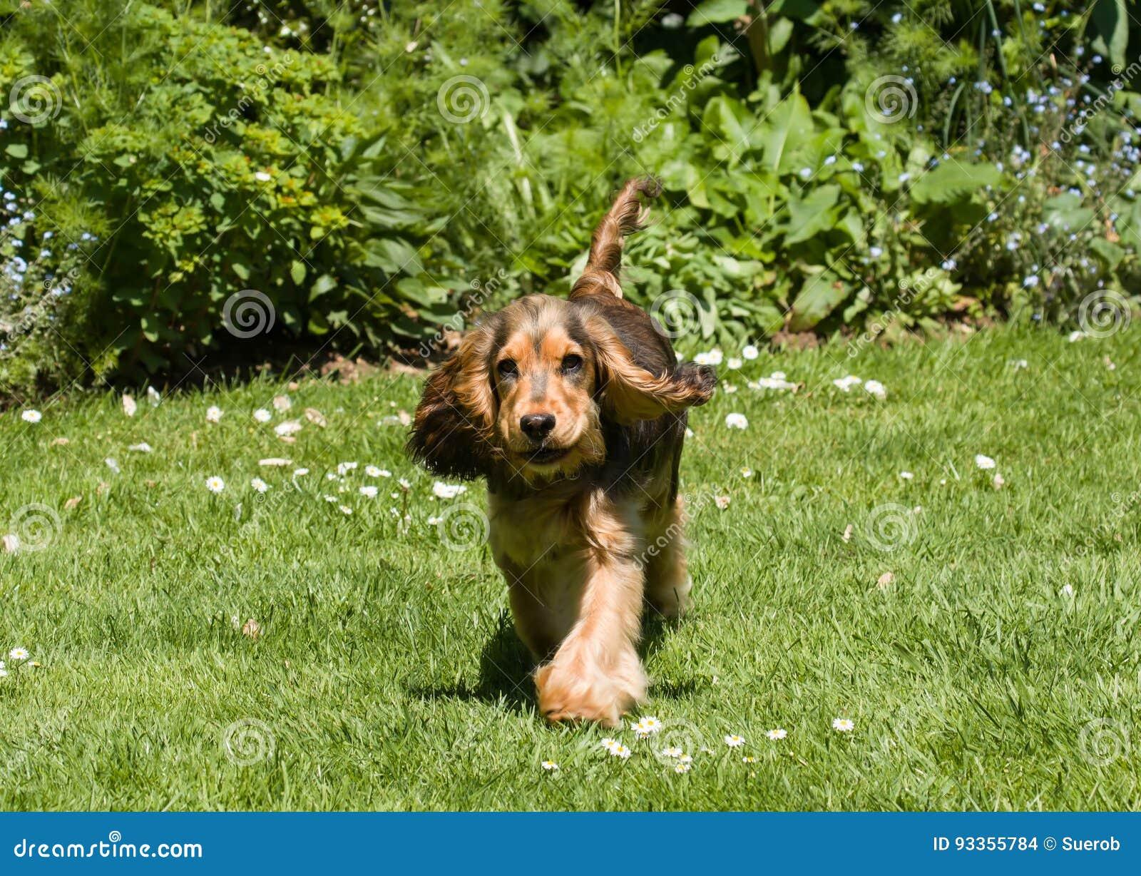 Sbattimento delle orecchie del cucciolo di cocker spaniel di inglese