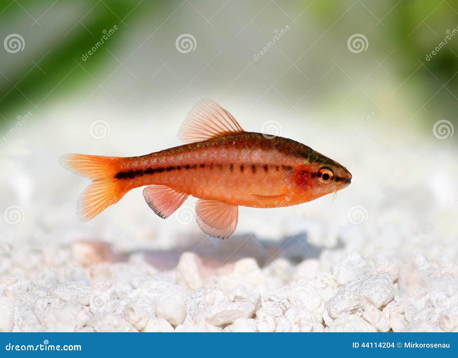 Sbavatura della ciliegia pesce d 39 acqua dolce dell for Pesce pulitore acqua dolce fredda