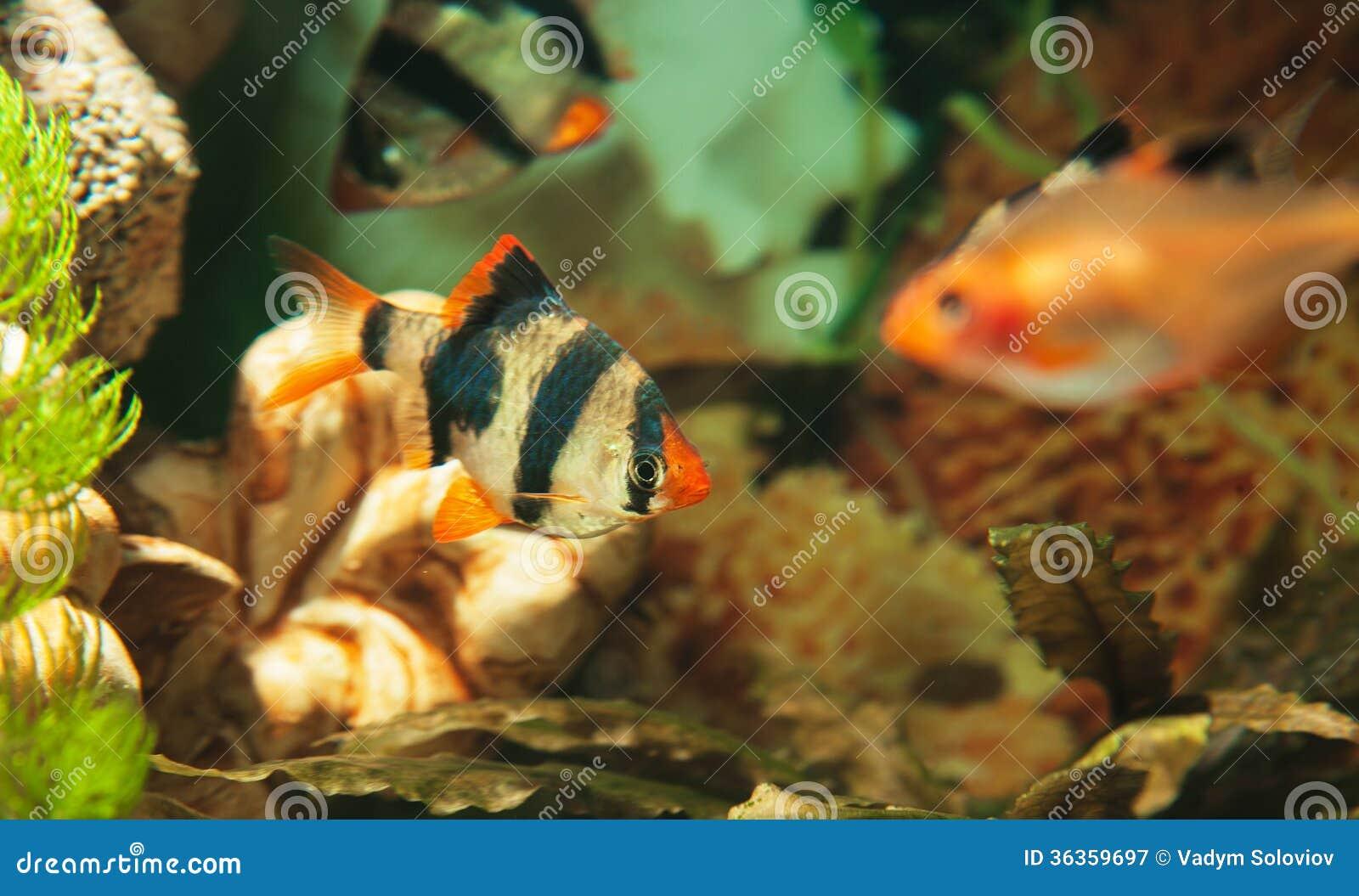 Pesci Acquario Tropicale Acqua Dolce : Tigre con i pesci tropicali in acquario fotografia stock libera da