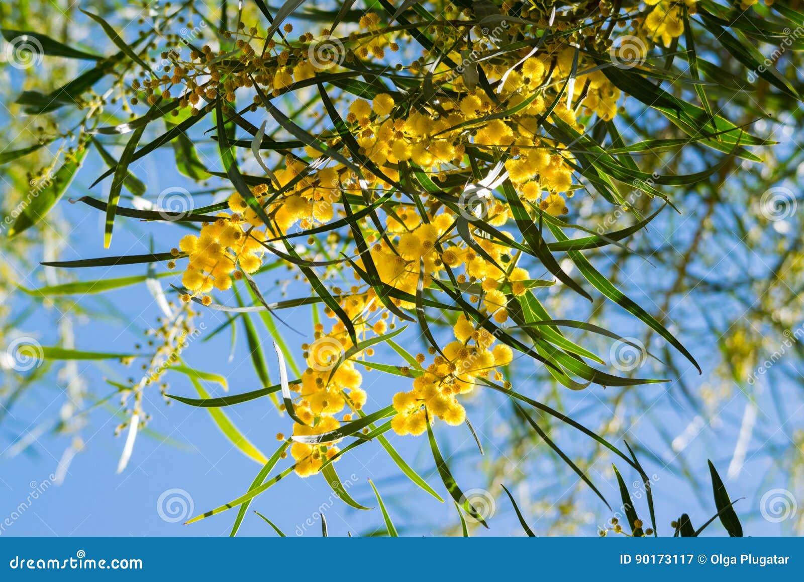 Sbocciando del pycnantha dell 39 acacia dell 39 albero della for Acacia albero