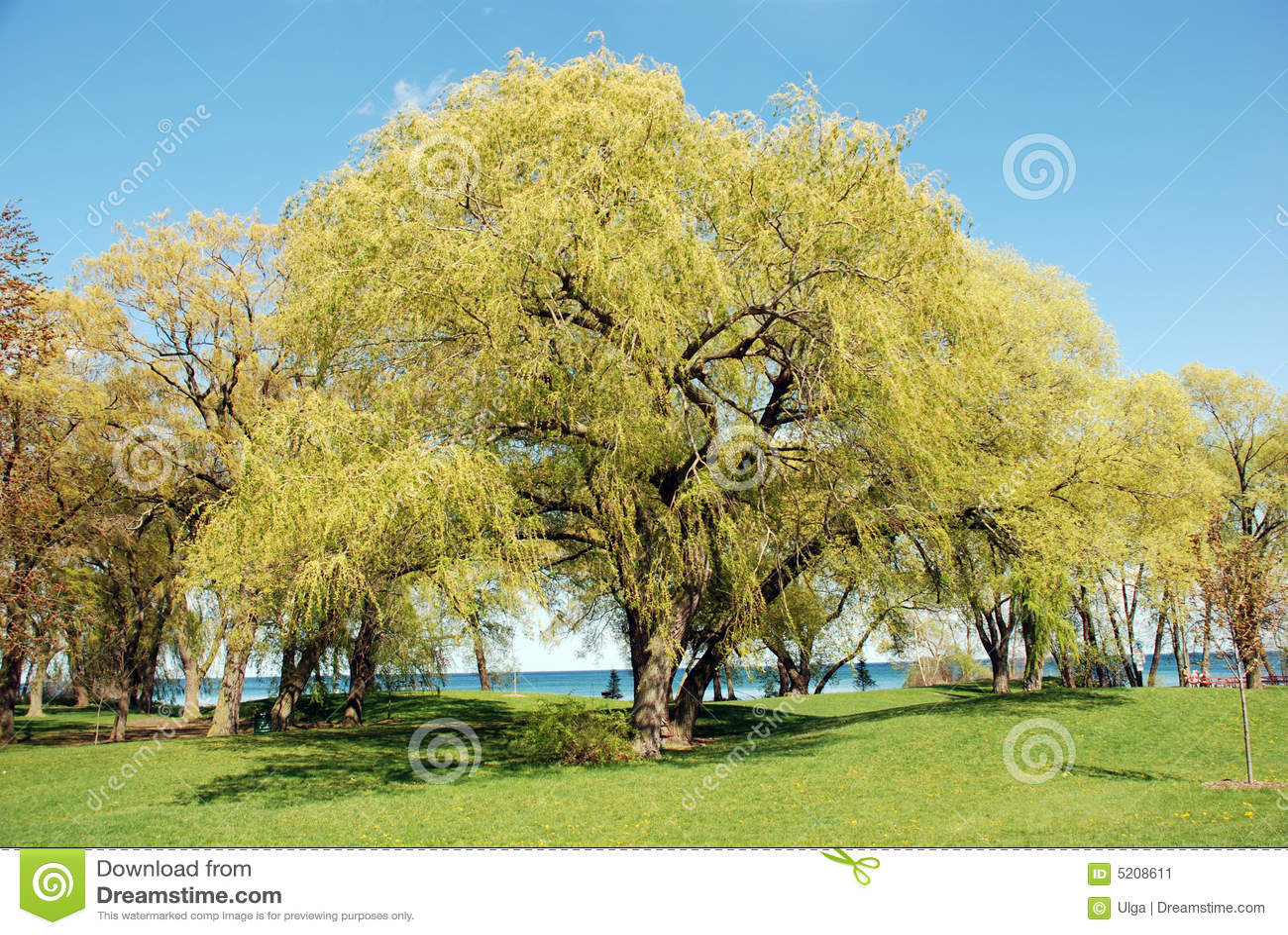 Scène d arbre de saule pleurant