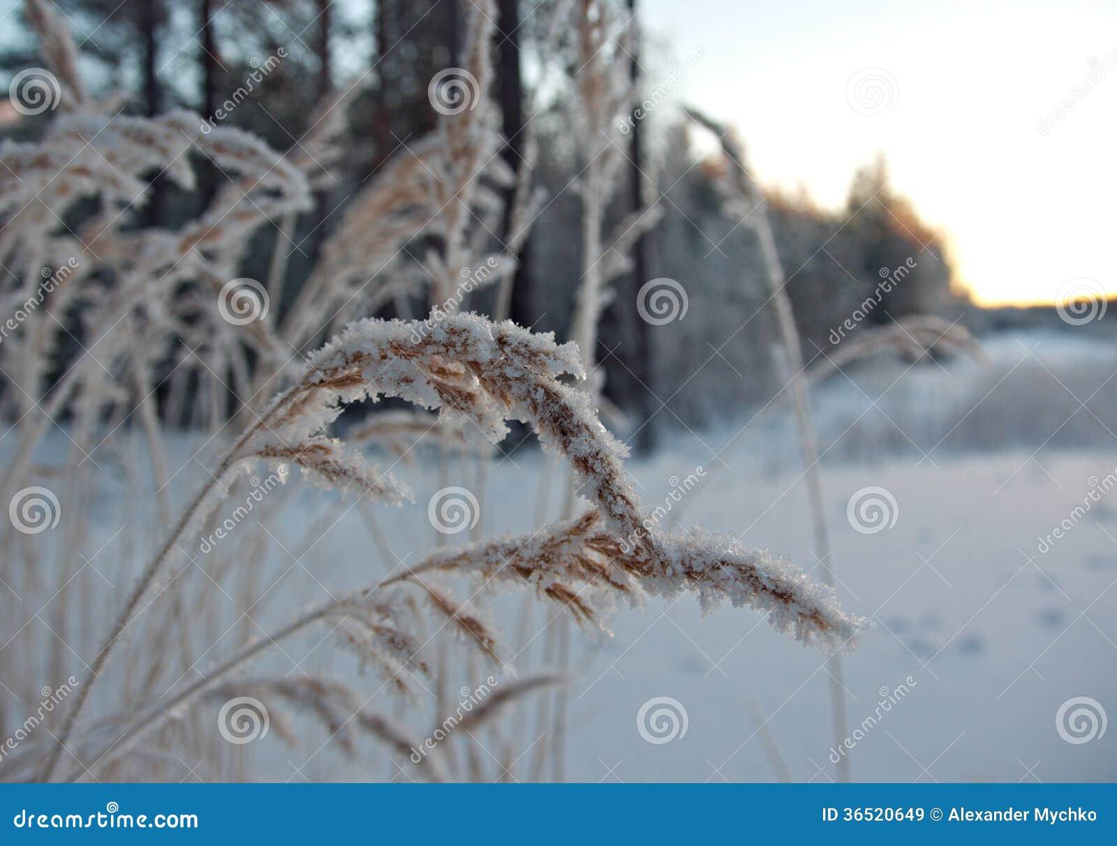 Scène d hiver. Fleur de Frozenned.