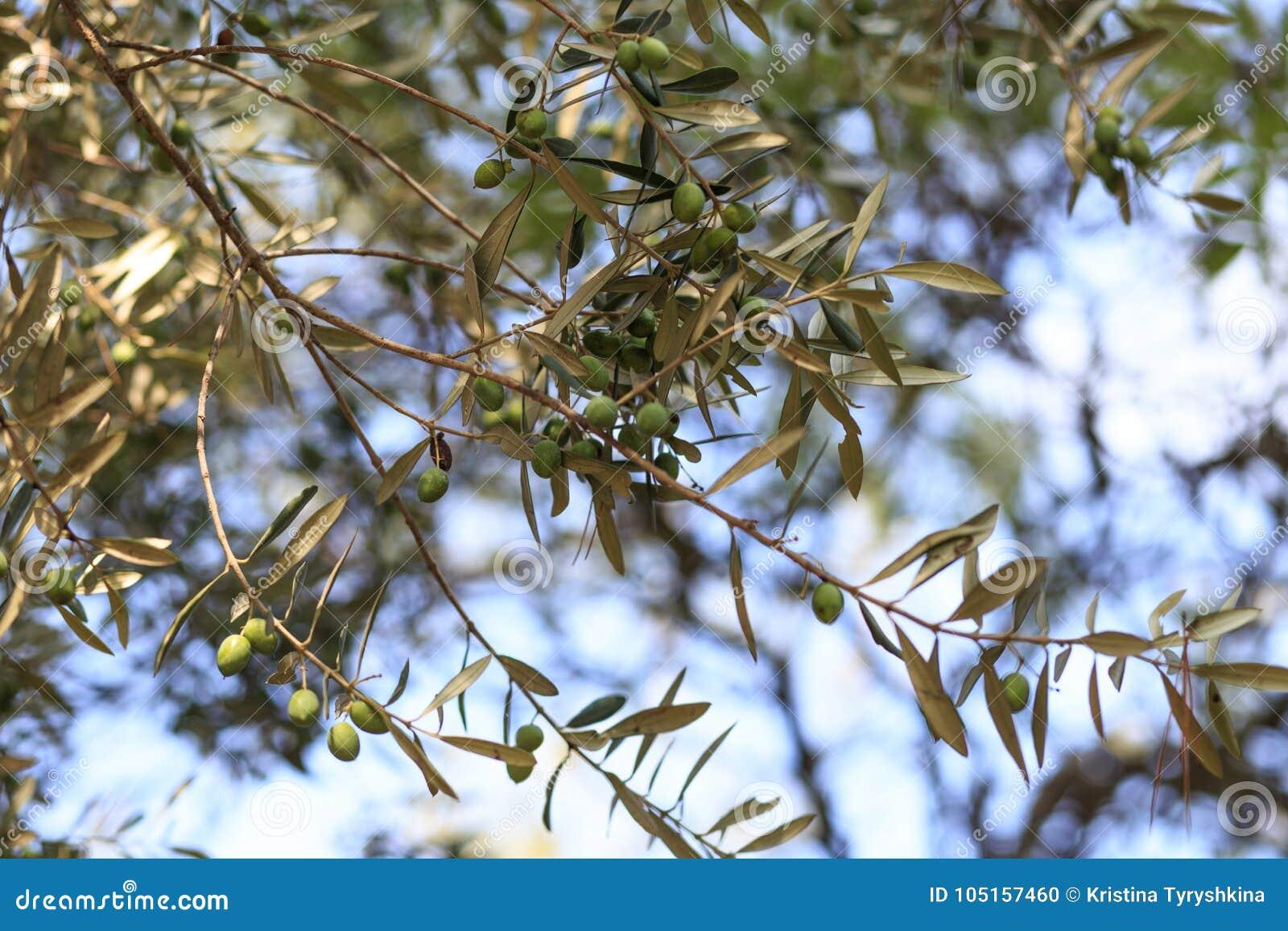 Scène De Nuit Olives Sur La Branche D\'olivier Photo stock - Image du ...