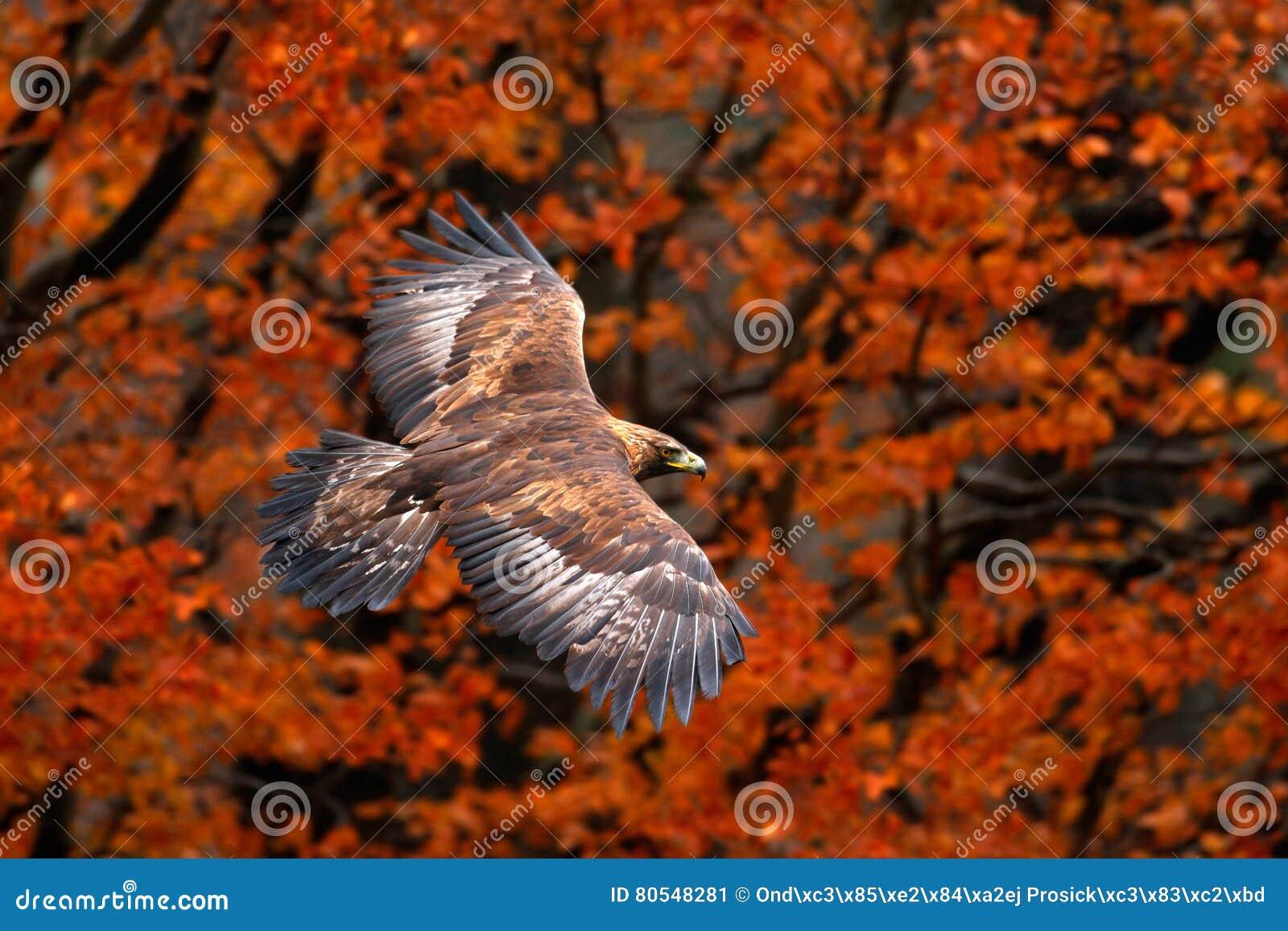 Scène orange d automne avec l oiseau de la proie Faites face à Eagle Blanc-coupé la queue par vol, l albicilla de Haliaeetus, ois