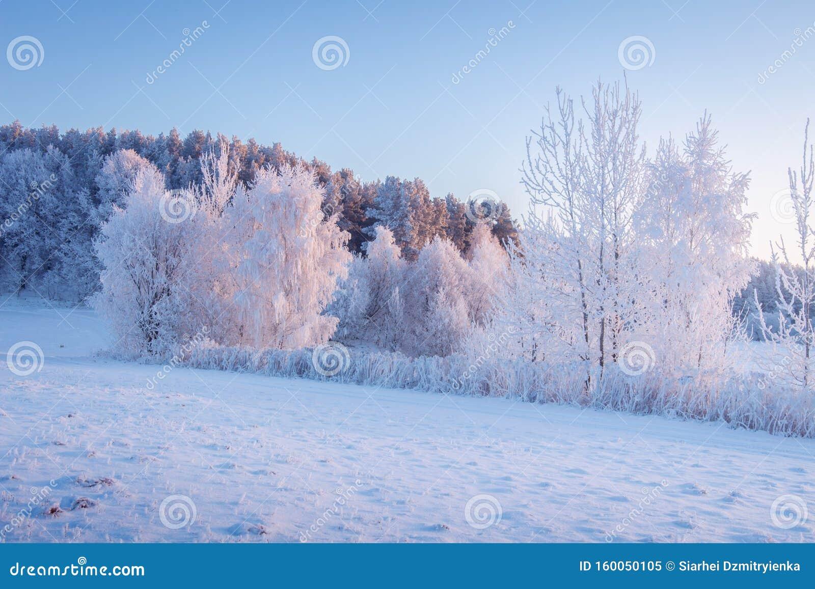 Sc?ne de l hiver. Frost et neige le matin. Paysage hivernal enneigé au soleil matinal. Belle nature gelée