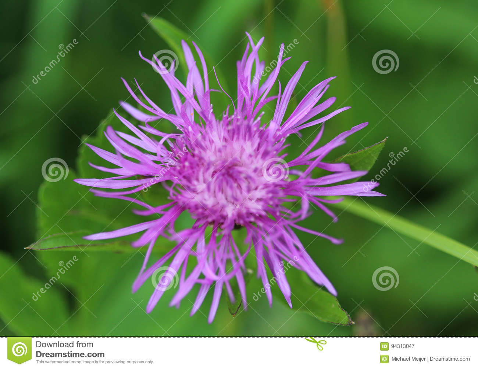 Scabiosa василёка Cornflower grungy