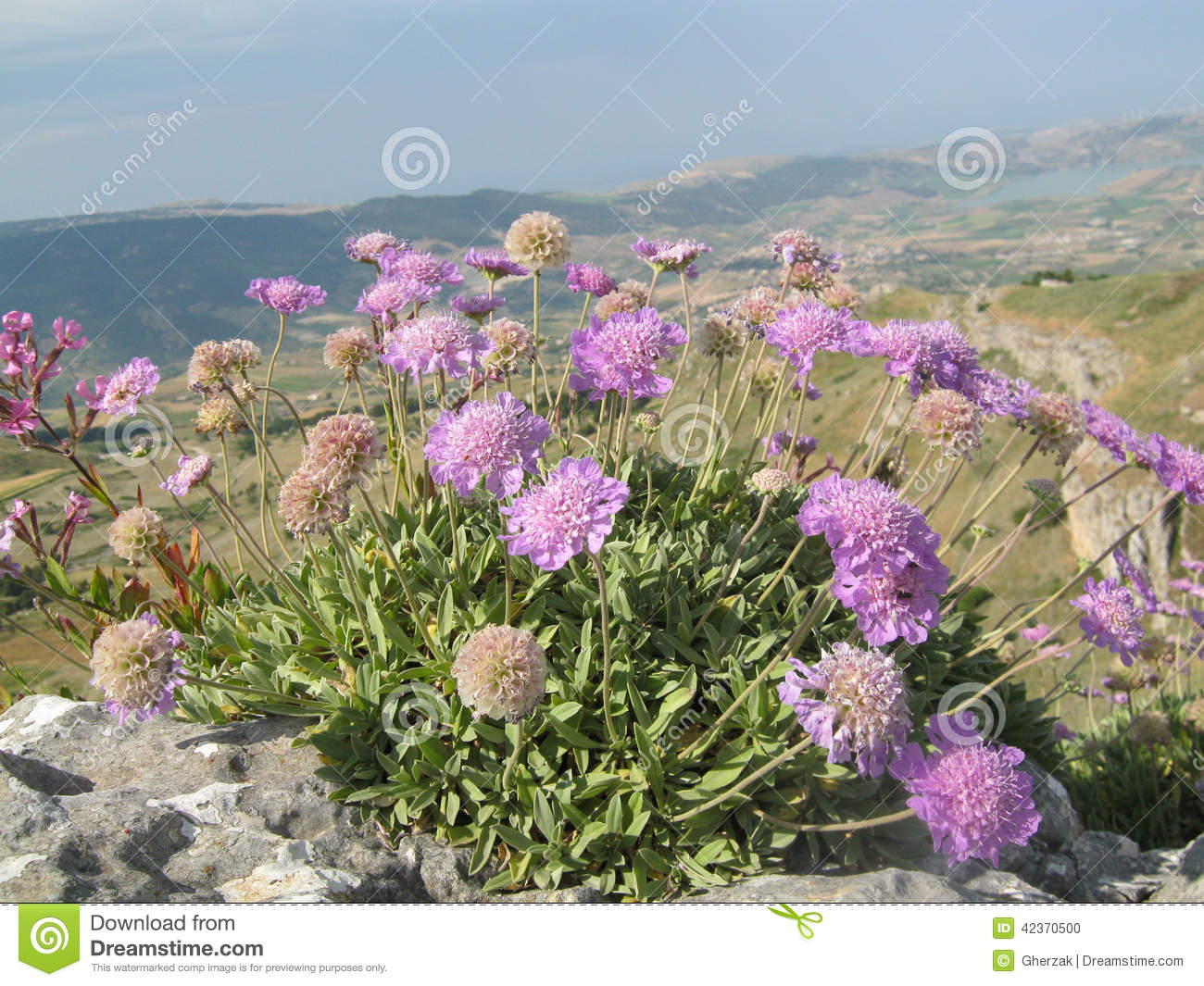 Scabiosa Cretica Stock Photo Image Of Botanical Environment 42370500