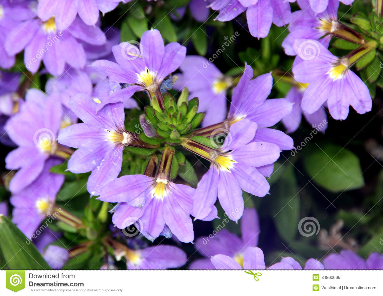 Scaevola aemula aussie crawl fan flower stock photo image of scaevola aemula aussie crawl fan flower hardy mound forming ground cover with blue mauve fan shaped flowers with white center izmirmasajfo