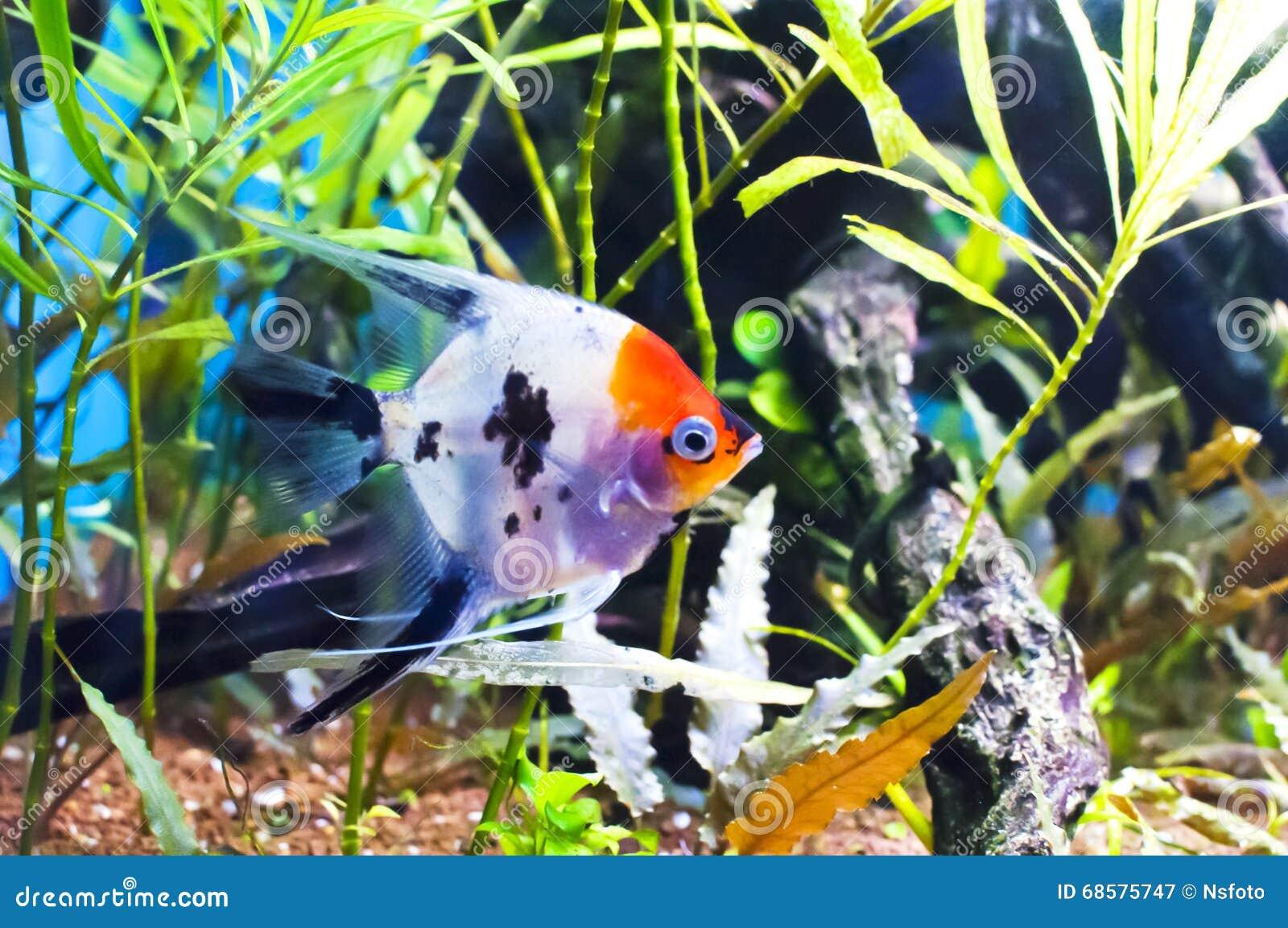 Scalar koi in an aquarium stock image image of fish for Skalar aquarium