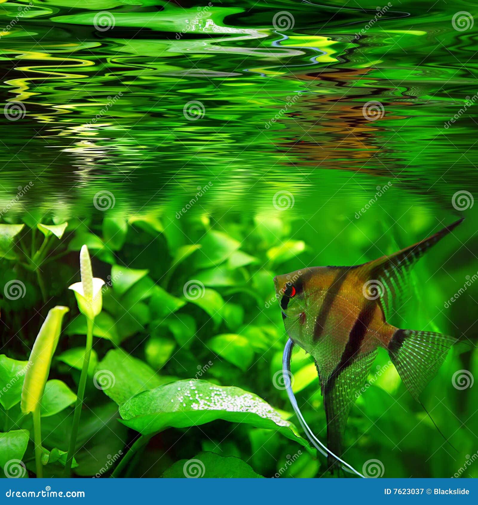 Scalare de Pterophyllum