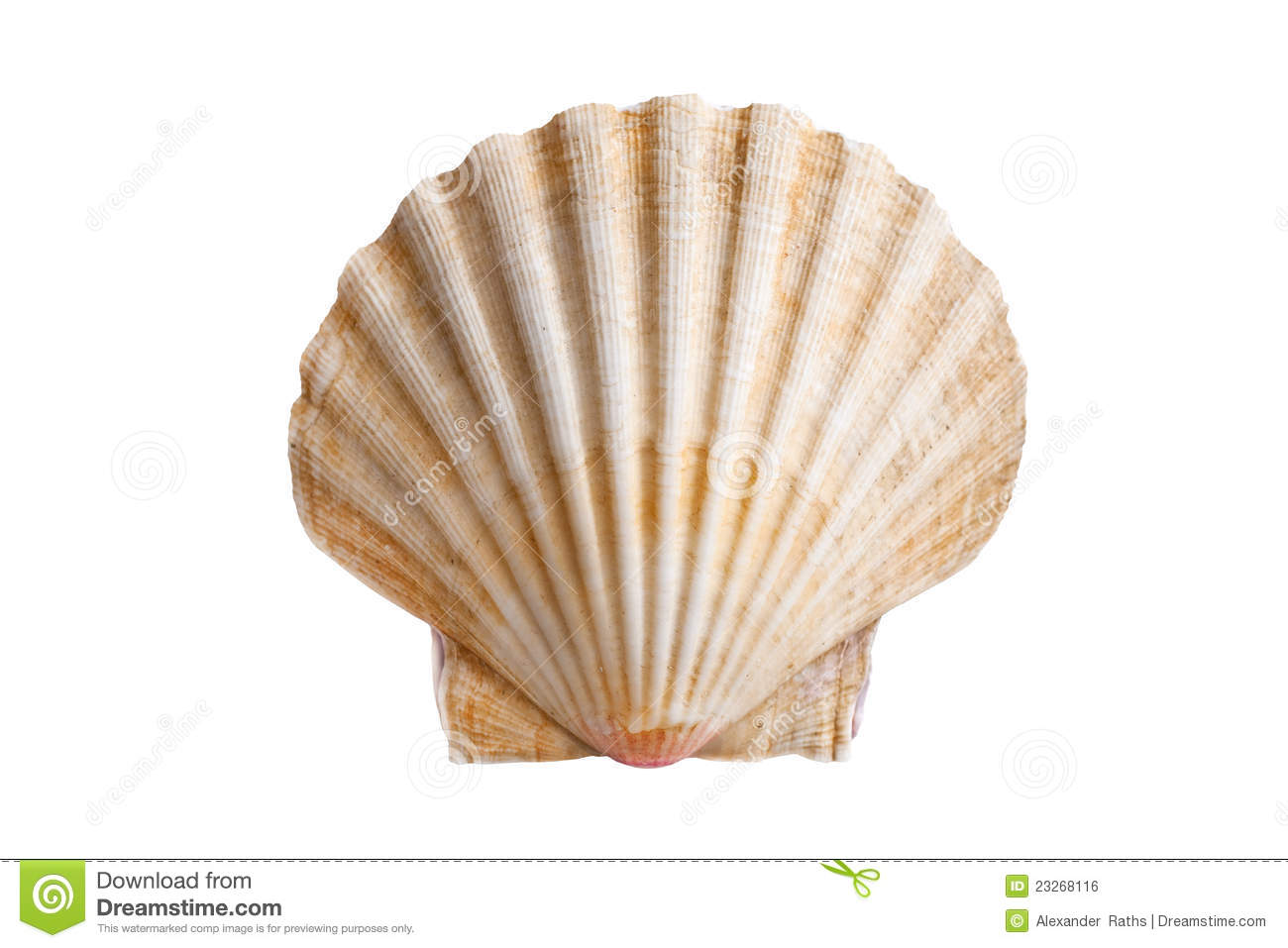 Scallops Shell Royalty Free Stock Image - Image: 23268116