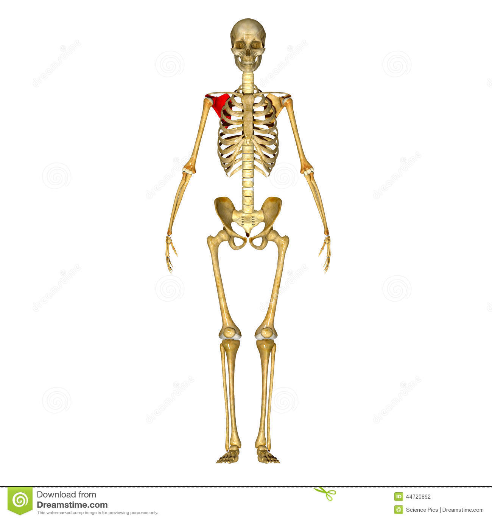 Scapula stock illustration. Illustration of body, medical - 44720892